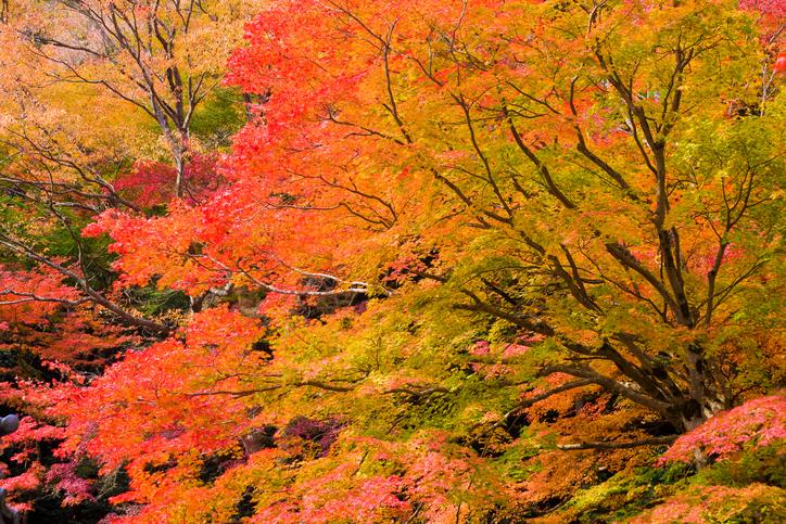 Autumnal leaves on maple trees, Otsu, Shiga Prefecture, Japan